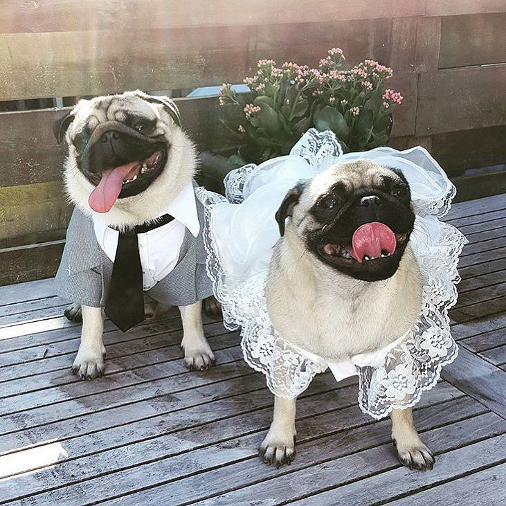 The pug wedding of the year happened today between @beer_the_pug and @isabella_thepug! Want to be featured on our Instagram? Tag your photos with #thepugdiary for your chance to be featured.