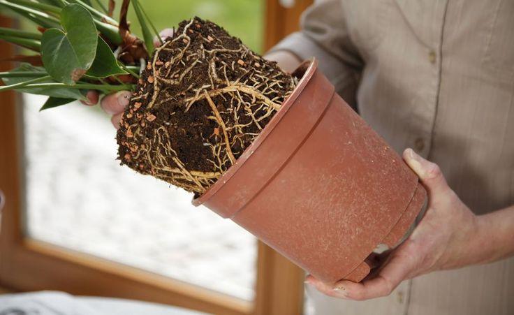 166 besten indoor pflanzen pflege tipps bilder auf pinterest. Black Bedroom Furniture Sets. Home Design Ideas