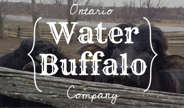 Ontario Water Buffalo Company in Stirling, Ontario is the home of the first milking water buffalo herd in Eastern Ontario (the second in Canada!) #cheese #bayofquinte #stirling #waterbuffalo #hastingscounty www.ontariowaterbuffalo.ca