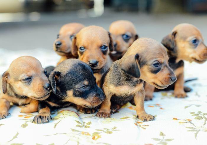 What Is A Toy Dachshund Toy Dachshund Daschund Puppies