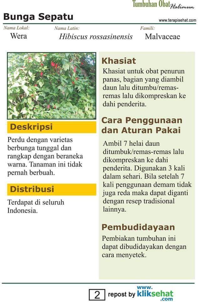 Pin Oleh Ika Al Di Ramuan Herbal Perdu Bunga Daun