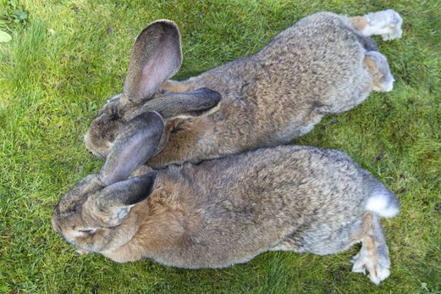 Darius Might Be the World's Biggest Rabbit, but His Son Is Set to Outgrow Him - BlazePress