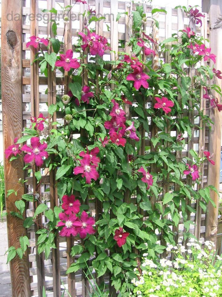 Clematis (comes in diff colors) does well in pacific northwest