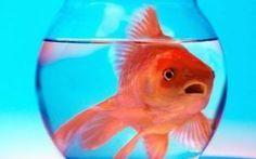 Prendersi cura di un pesce rosso.Le cose che devi sapere Prendersi cura di un pesce rosso.Le cose che devi sapere Innanzitutto bisogna sfatare il mito che un pesce rosso d'acquario ha una vita breve.Il Carassius auratus conosciuto comunemente come pesce r #pescerosso #animali #pesce #acquario