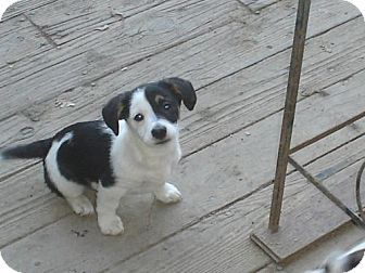 Jack Russell Terrier/Corgi Mix Puppy for adoption