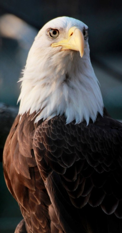 Majestic bald eagle at the Potter Park Zoo in Lansing, Michigan