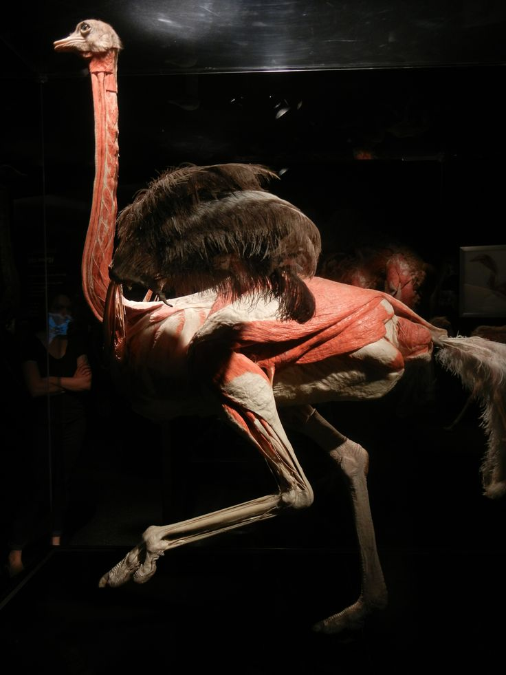 Ostrich muscles - photo#7
