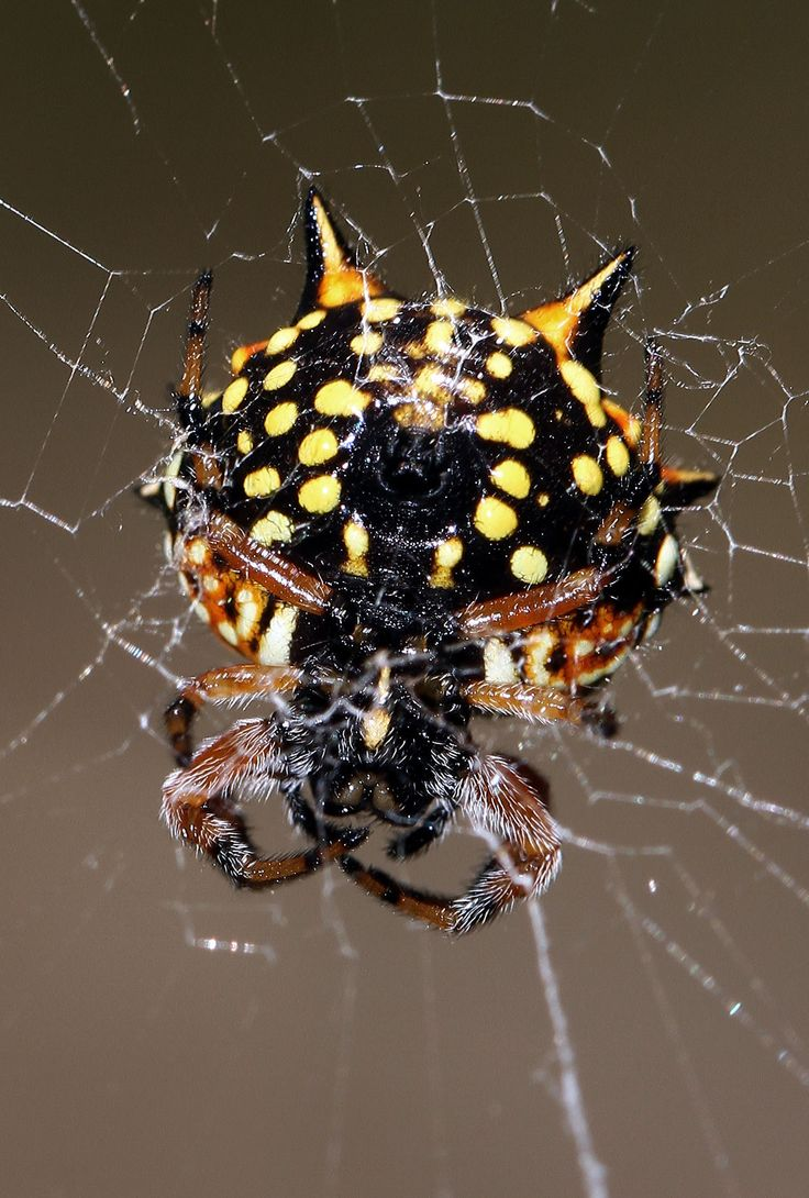 camel spider essay What are some adaptations that spiders have a: quick answer spider adaptations include sticky webs, venom, quick movement and various anatomical adaptations.
