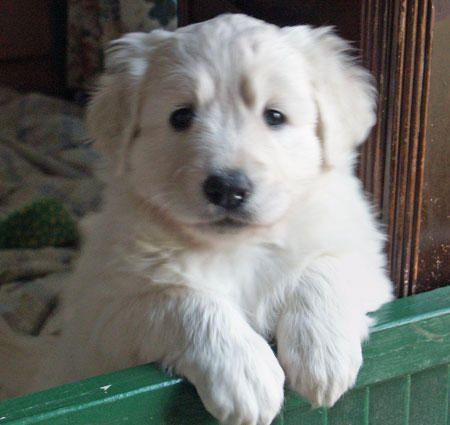 Fluffy white puppy!!! Slovensky Cuvac