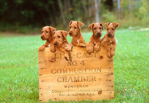 Irish Terrier Puppies ...don't understand why combustion chamber is on the sheet of wood??