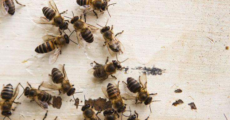 Partes del cuerpo de una abeja. Según la Enciclopedia Britannica, existen más de 20.000 especies de abejas en todo el mundo. Aunque las características de las partes del cuerpo de una abeja varían de una especie a otra, hay algunas similitudes generales que todas las abejas comparten.