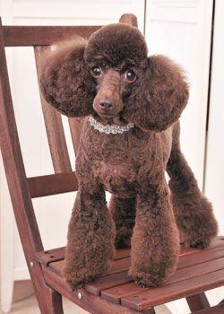 ウエア・リングスタイル --愛犬の友 ヘアスタイルカタログ--