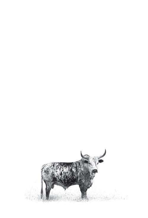 Google Image Result for http://www.fineartportfolio.co.za/images/large/Malcolm_Bowling_Wildlife_Art_Nguni_Bull_Black_%2B_White_MB-001P.jpg