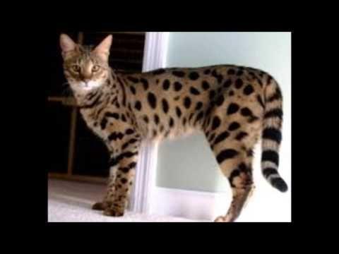 ASHERA:il gatto leopardo