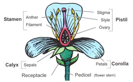 Flower Structure and Function Flowers are the reproductive structures of a flowering plant.  Flowers are the primary structures used in... - See more at: http://worldoffloweringplants.com/flower-structure-function/