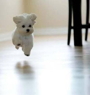 They're here, they're here! Hurry!: Doggie, Maltese Puppies, Maltese Puppy, Happy Puppy, Pet, Puppys, Dogs Puppies, Animal