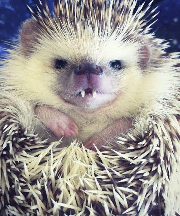 39221619cd1ba63eea116cb301af3090--pygmy-hedgehog-the-hedgehog.jpg