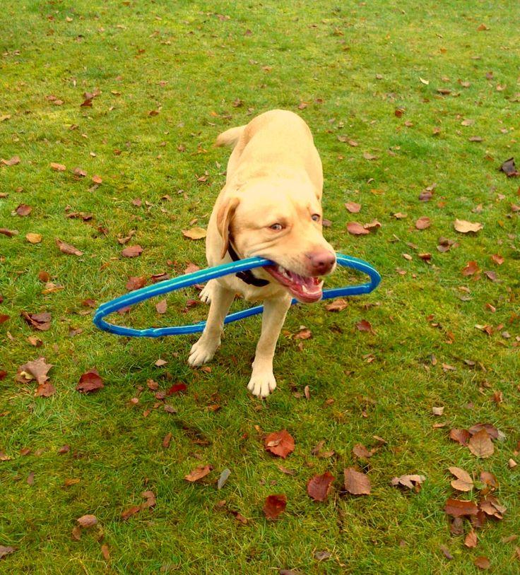 """Labrador Mix Smokie Stöckchentag bei """"Ich ♥ Hunde"""" (Bild 3) – Smokie: Gilt das auch als Stöckchen? Hundename: Smokie / Rasse: Labrador Mix      Mehr Fotos: https://magazin.dogs-2-love.com/foto/labrador-mix-smokie/ Bild, Hund, Liebe, Rasse, Stöckchen"""