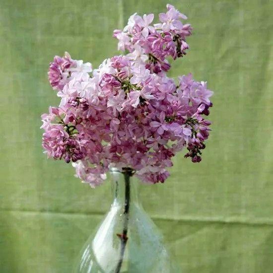 Syringa «Maiden's Blush».    Muy resistente y flores que recuerdan.a las hydrageas,olorosisimas.