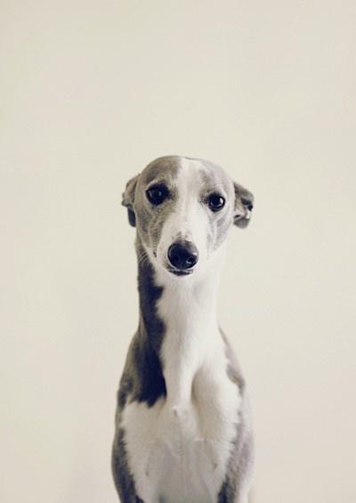 awwww baybeeeeeePuppies, Sweets, Jenna Marbles, Beautiful, Italiangreyhound, Whippets, Dogs Portraits, Animal, Italian Greyhounds