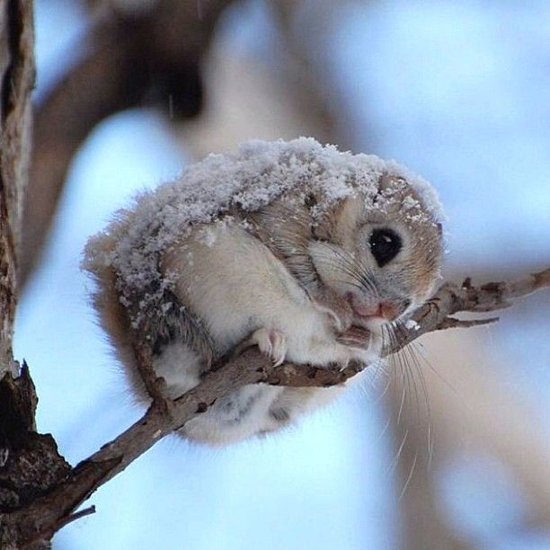 Japanese dwarf flying squirrel (Pteromys momonga has a body is 14–20 cm long and the tail length is 10–14 cm. It weighs 150–220 g. Its back is covered with grey brown hair, and its belly is white. It has large eyes and a flattened tail. It inhabits sub-alpine forests in Japan. It is nocturnal, and during the day it rests in holes in trees. It eats seeds, fruit, tree leaves, buds and bark. It can leap from tree to tree using a gliding membrane.