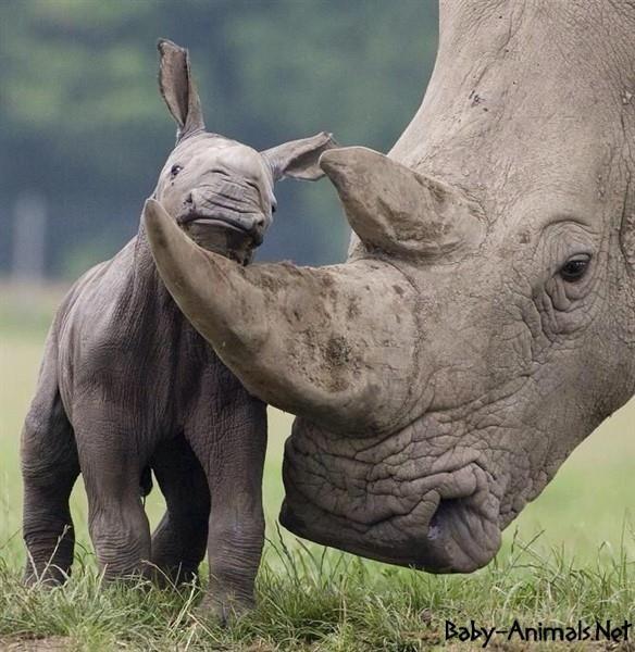 Baby rhino and mom
