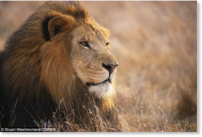 lions endangered species list | African lions to join the endangered species list -- Earth Changes ...