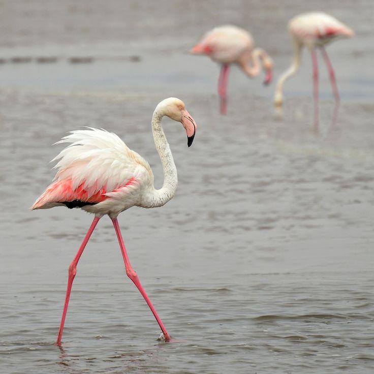 Flamingos in the Messolongi lagoon