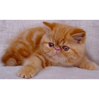 Экзотическая короткошерстная (Exotic Shorthair) кошка. ФОТО, ЦЕНА, продолжительность жизни, вес, характеристика, отзывы.