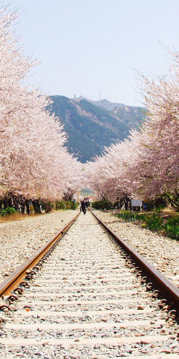 韓国 慶和駅の桜道(Gyeonghwa Station Cherry Blossom Road)