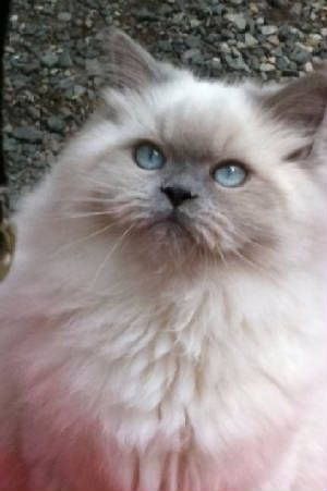 Blue Point Himalayan