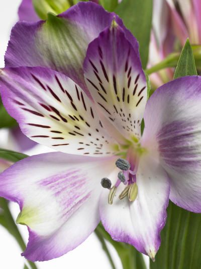 alstroemeria...one of my faves
