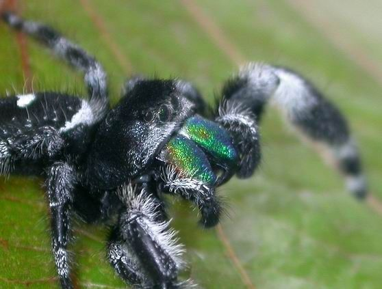 23 Best Images About Insects On Pinterest Jumping Spider