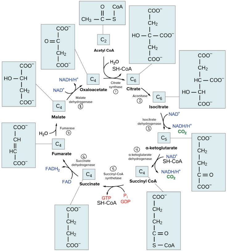 23 best biology i ii images on pinterest science biology overview of the krebs or citric acid cycle ccuart Choice Image