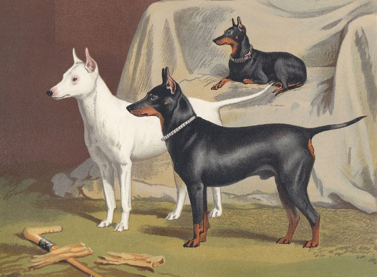 1881 Antique Dog Print Manchester Terrier English Toy Terrier English White Terrier Dogs Lithograph