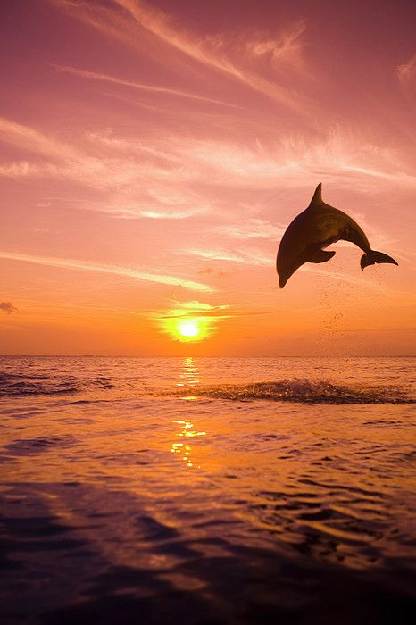 Bottlenose Dolphin jumping out of sea at sunset.