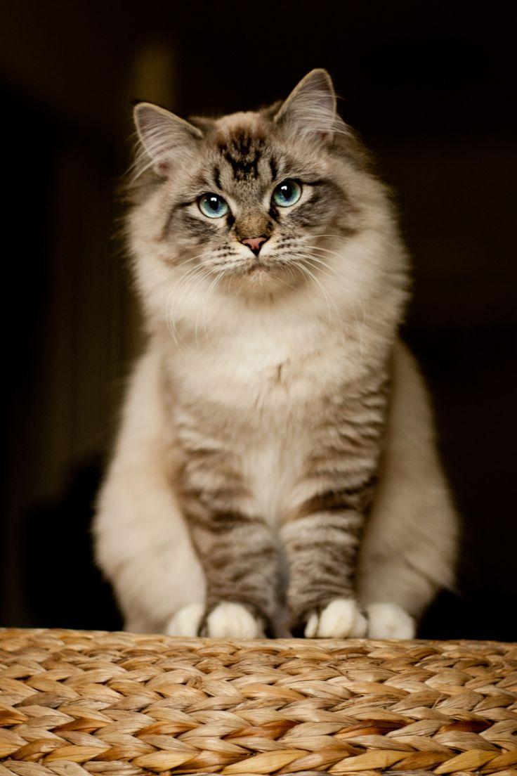 Ragdoll Cat - such a beauty