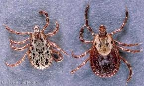 Dermacentor Spp. this can be a carrier of colorado tick fever, tularemia, and rocky moutian spotted fever.