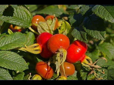 What is rose hips tea good for? | Rose Hip health benefits - fasaflora.com - YouTube