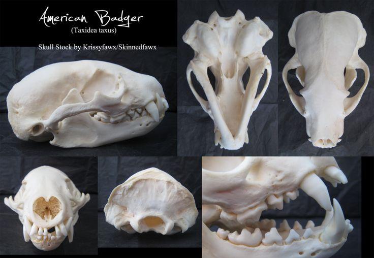 Skull Stock American Badger Animal Skulls Skull Reference Skull
