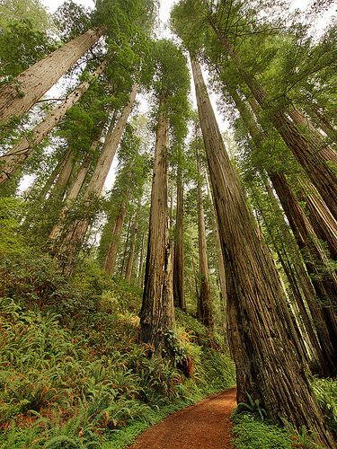 Coast+Redwood+(Sequoia+sempervirens)Praire Creek Redwoods State Park,Humboldt County,California