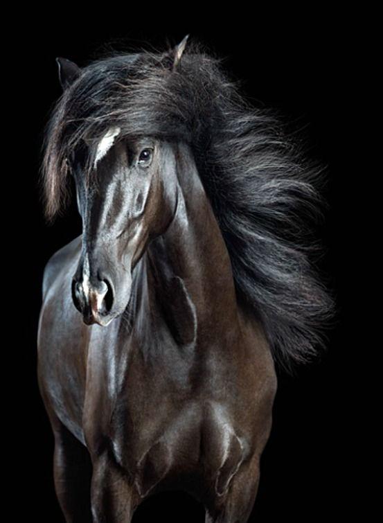 Atemberaubender schwarzer (sonnenverblassender) Pura Raza Española Wallach, Allaus. Mag wie ein Gemälde aussehen, aber dies ist ein Foto – obwohl es eindeutig digital verbessert ist …