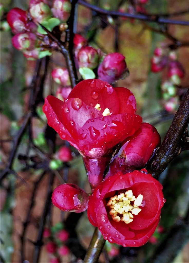 Japanese quince, or Chaenomeles japonica on the garden wall at Bryngwyn