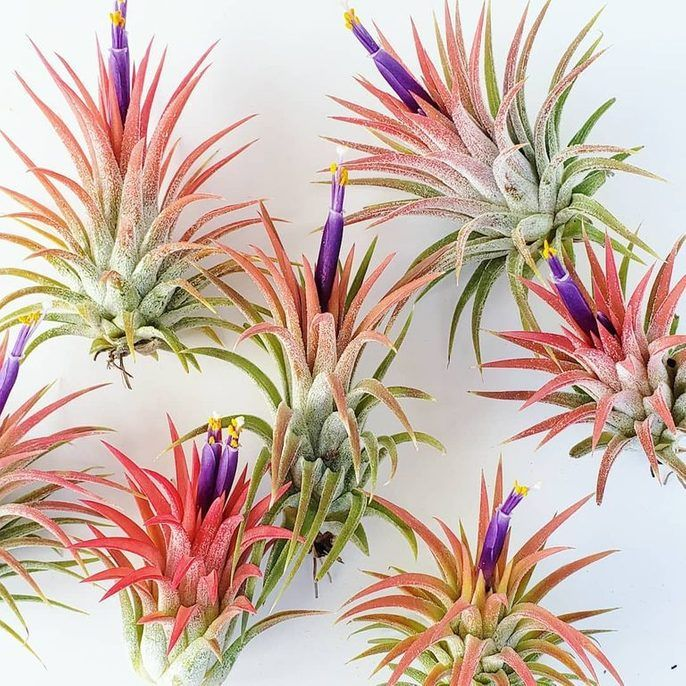 How to Water Air Plants Tillandsia air plant, Plants
