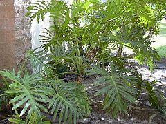 Plantas para debaixo da escada: filodendros, aspidistras, marantas, calateias.