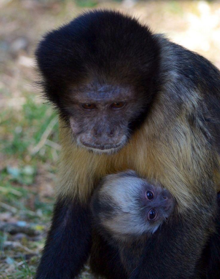 Le Capucin à poitrine jaune est une des espèces de singes la plus menacée dans le monde.