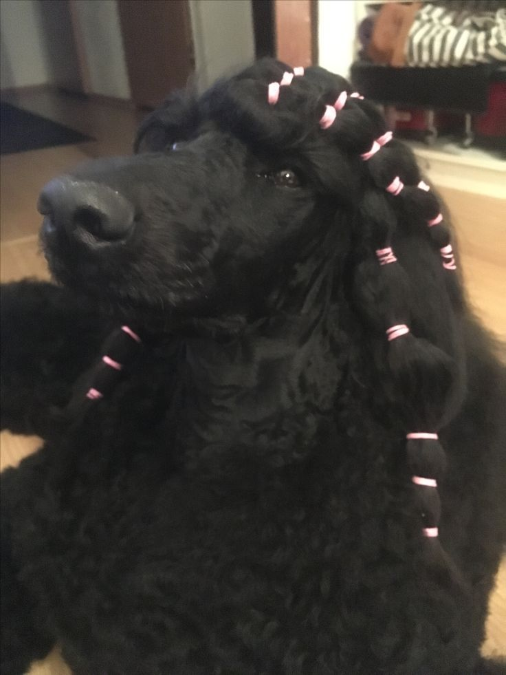 This was probably the most sofisticated hairstyle I've ever done to her 😄 a looooot of bands #poodle #hairstyle #standardpoodle