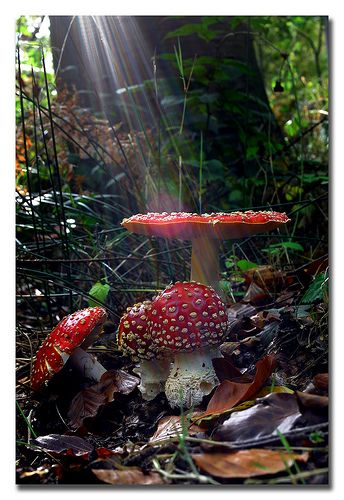 Amanita muscaria - the sun is almost certainly photoshopped, but otherwise cool!