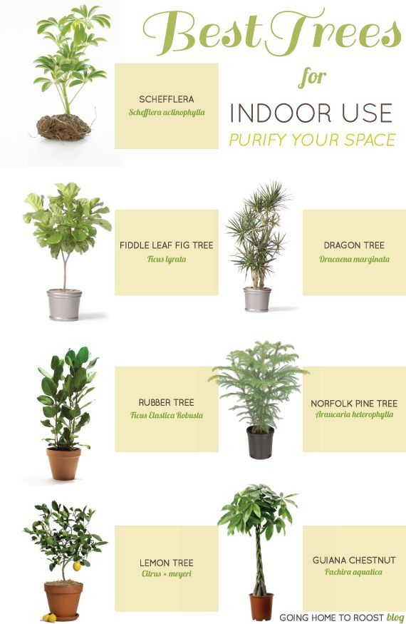 Best use for air purifying Indoor trees