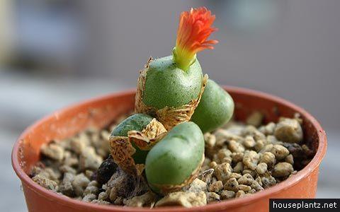 Succulent Houseplants Identification | conophytum auriflorum × velutinum